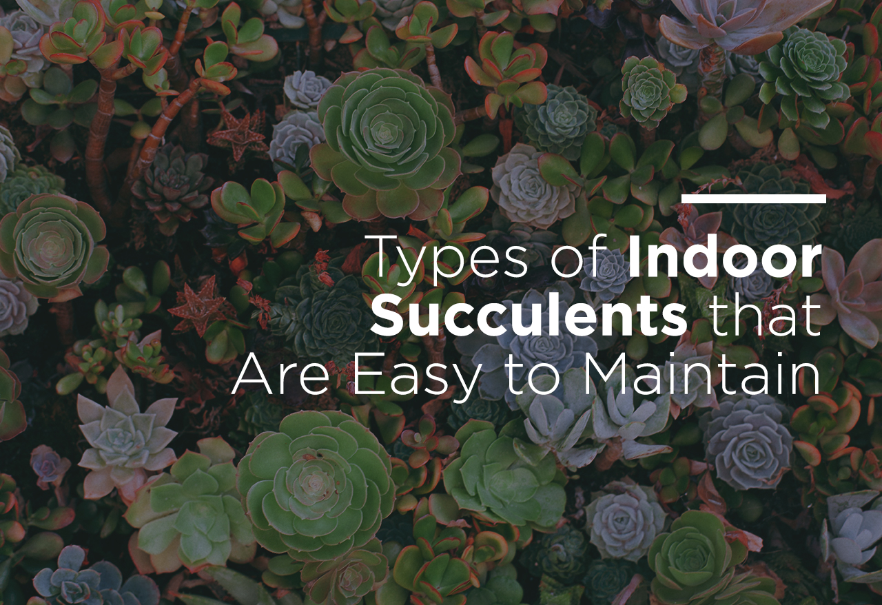 Types Of Indoor Succulents That Are Easy To Maintain