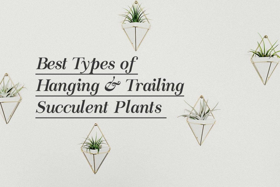 Best Types Of Hanging Trailing Succulent Plants