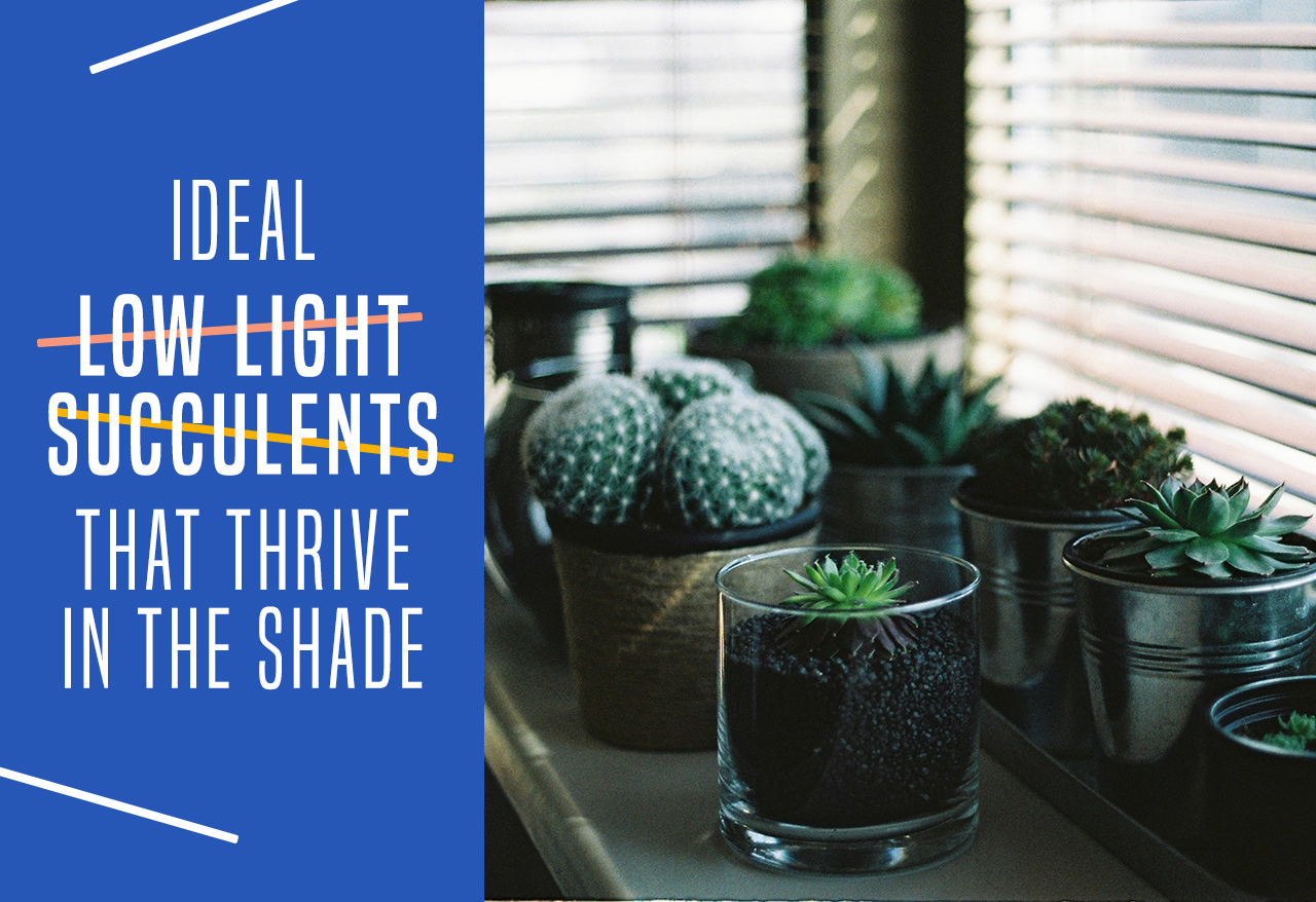 Ideal Low Light Succulents That Thrive In The Shade